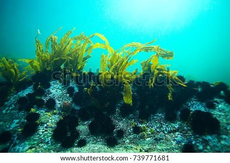 laminaria sea kale underwater photo ocean reef salt water #739771681