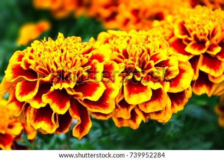 Summer flower buds. Tagetes patula flowers. Marigolds are blooming yellow-brown. #739952284