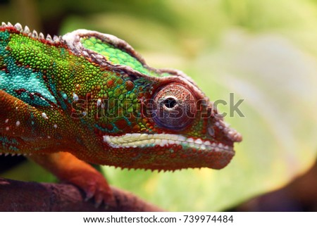 Close up animal portrait photo of chameleon lizard changing color of skin #739974484