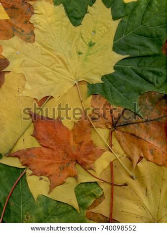autumn maple leaves #740098552