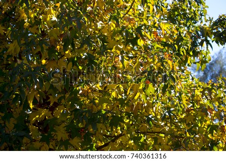 Brilliant red , yellow , brown and green  sycamore Platanus occidentalis foliage of deciduous trees in autumn  add color to the garden and park land scape as the leaves fall to the ground below. #740361316