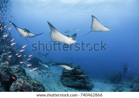 Black spotted eagle rays swimming over the coral reef, Darwin Island, Galapagos Islands, Ecuador. #740462866