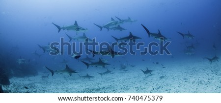 School of scalloped hammerhead sharks swimming over a sandy ocean floor, Darwin Island, Galapagos Islands, Ecuador. #740475379