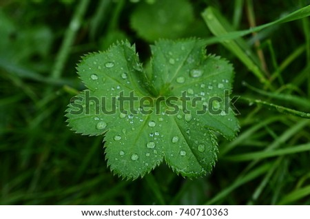 Lady's mantle plant with raindrops #740710363