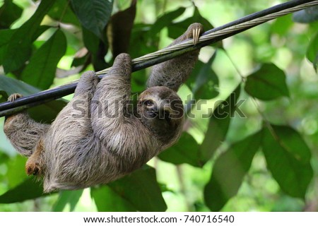 Young Brown-throated Sloth (Bradypus Variegatus) hanging on a cable and looking at camera with smiling expression. Costa Rica.