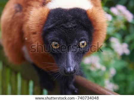 Portrait of red ruffed lemur (Varecia rubra), close up. #740734048