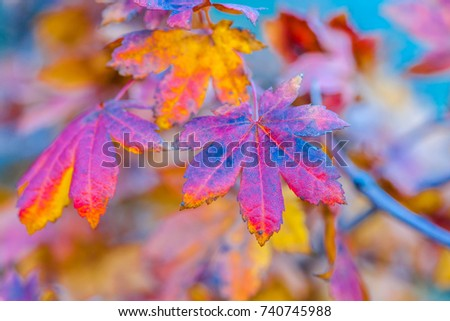 Colorful leaves of a Japanese maple tree in golden autumn season. Stylized photography, vibrant colors. Beauty of fall season #740745988