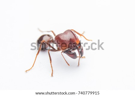 Fire ant on a white background.