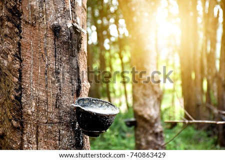 Rubber plantation After harvest in southern Thailand #740863429