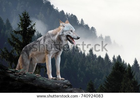 Timber wolf hunting in mountain #740924083
