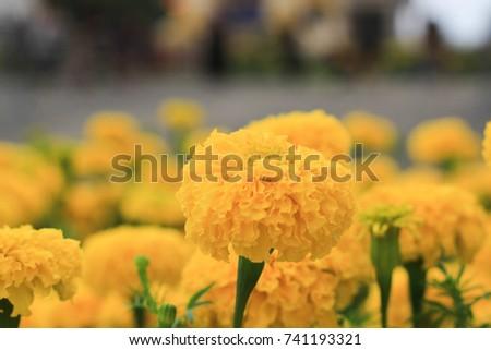 marigold  Decorate around the park #741193321