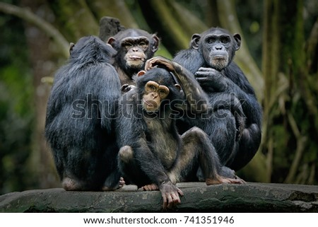 Chimpanzee consists of two extant species: common chimpanzee and bonobo. Bonobos and common chimpanzees are the only species of great apes that are currently restricted in their range to Africa #741351946