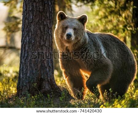 Wild adult Brown Bear ( Ursus Arctos ) in the summer forest.