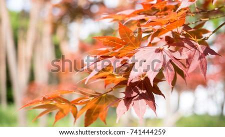 Japanese Orange maple Leaves,with the nature background (Japanese name, Irohamomiji) #741444259