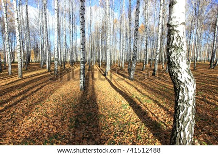 birch grove in late autumn in a sunny morning #741512488