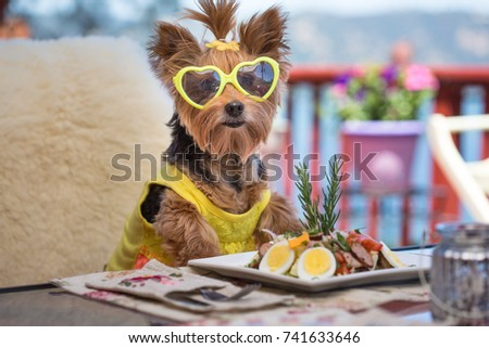 Cute little Yorkshire Terrier Puppy with a yellow Topknot and sunglasses sitting at an outside dining table wearing a yellow dress getting ready to eat a gourmet salad for lunch with a great view