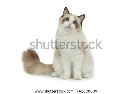 Rag doll cat on a white background. #741698809