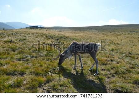 Reindeer in the Scottish Highlands #741731293