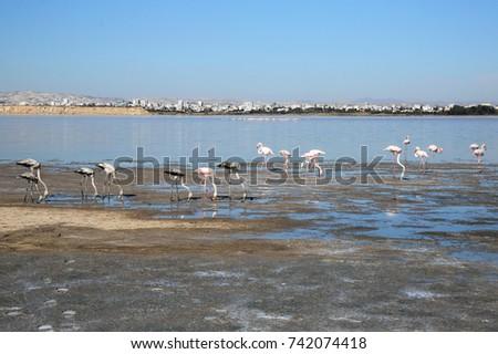 Landscape wild flamingos on wintering at the Salt Lake Larnaca Cyprus. #742074418