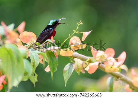 Aethopyga siparaja, A beautiful and colorful Crimson sunbird on branch. #742265665