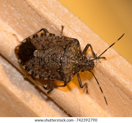 A Brown Marmorated Stink Bug with his distinctive stripped antennae crawling along a light piece of brown wood.