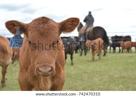Red Angus Calf in the Branding Pen  #742470310