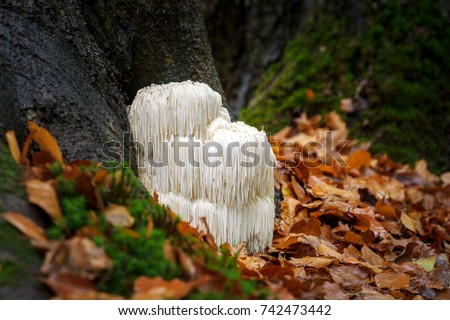 The rare Edible Lion's Mane Mushroom / Hericium Erinaceus / pruikzwam in the Forest. Beautifully radiant and striking with its white color between autumn leaves and the green moss.  Royalty-Free Stock Photo #742473442