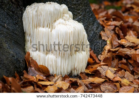 The rare Edible Lion's Mane Mushroom / Hericium Erinaceus / pruikzwam in the Forest. Beautifully radiant and striking with its white color between autumn leaves and the green moss.  Royalty-Free Stock Photo #742473448