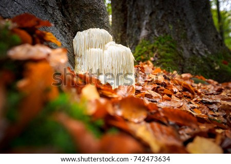 The rare Edible Lion's Mane Mushroom / Hericium Erinaceus / pruikzwam in the Forest. Beautifully radiant and striking with its white color between autumn leaves and the green moss.  Royalty-Free Stock Photo #742473634