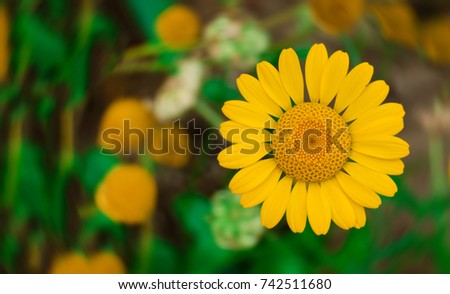 yellow succulent Daisy on blurred background. Wild chamomile of beautiful color #742511680