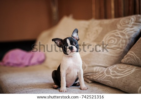 Cheerful puppy sitting on the sofa and looking at the camera. Boston terrier.