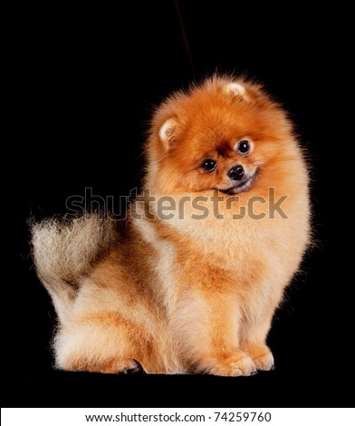 Pomeranian (spitz) dog, isolated on black background. #74259760
