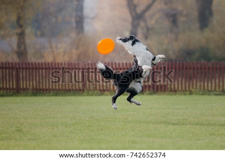 Border collie dog catches a flying disc #742652374