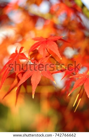 Japanese maple (Fall foliage) #742766662