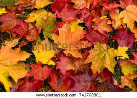Autumn. Multicolored maple leaves lie on the grass. #742768801