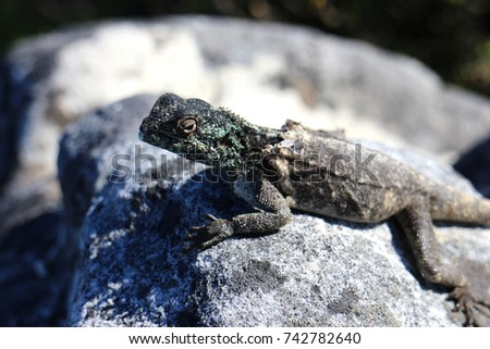 Lizard moulting on a rock #742782640