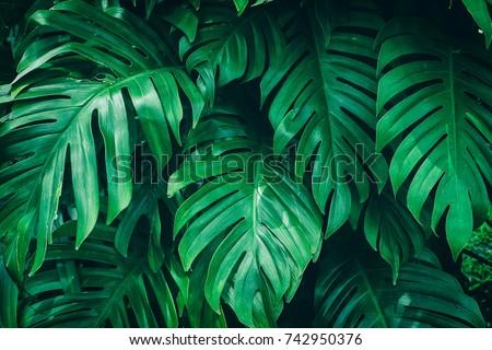 tropical jungle foliage, dark green leaf nature background Royalty-Free Stock Photo #742950376