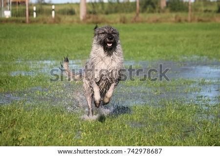 big schnauzer is running in the park in water #742978687