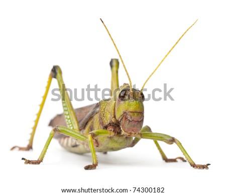Giant Grasshopper, Tropidacris collaris, in front of white background Royalty-Free Stock Photo #74300182