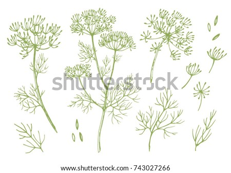 vector set of linear illustrations of dill, sulfur root sketch, fennel  Royalty-Free Stock Photo #743027266