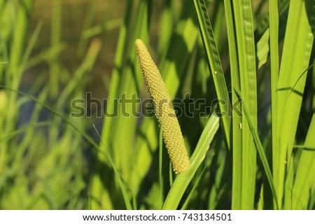 Inflorescence of sweet flag (Acorus calamus) #743134501
