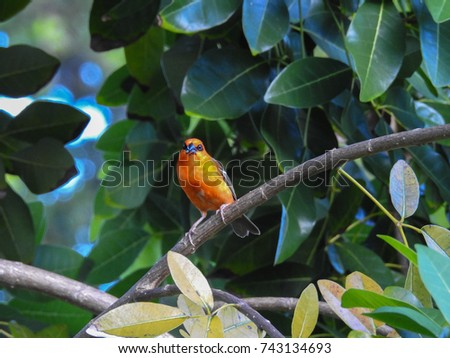 Fody red bird. Fauna of Seychelles islands #743134693