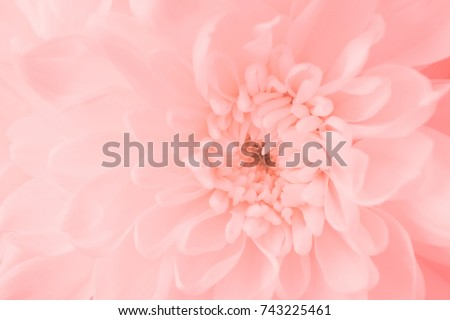 Pink flower, Close up petal of pink Chrysanthemum flower or pink flower image use for web design and flower background