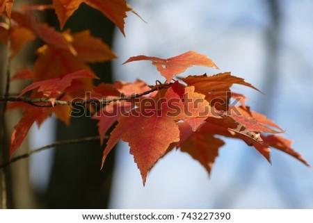 autumn leaves fall #743227390
