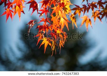 Autumn leaves  #743267383