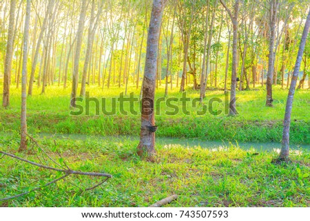 rubber tree garden agriculture in the countryside and sunset light tone. with copy space add text #743507593