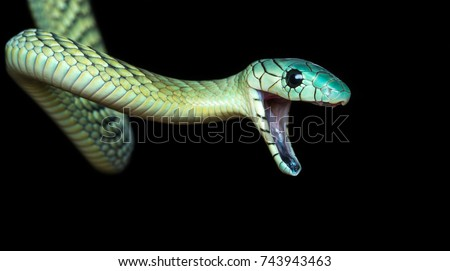 The western green mamba (Dendroaspis viridis), also known as the West African green mamba or Hallowell's green mamba, is a long, thin, and highly venomous snake of the mamba genus, Dendroaspis.  #743943463
