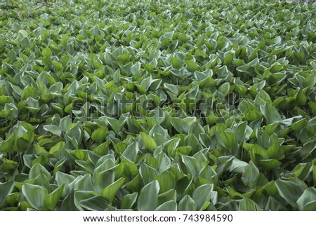 background of environment problem in river from water hyacinth texture. #743984590