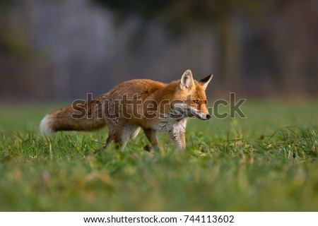 Red fox is largest of the true foxes, has the greatest geographic range of all members. Red foxes are usually together in pairs or small groups consisting of families. #744113602
