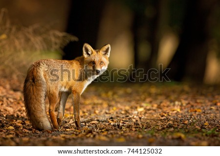 Red Fox. The species has a long history of association with humans.The red fox is one of the most important furbearing animals harvested for the fur trade. Largest of the true foxes #744125032